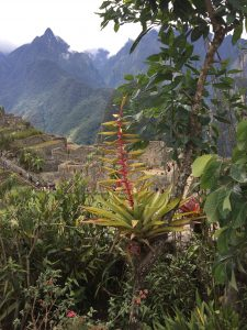 The plants growing at Machu Picchu
